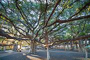 Banyan Tree, Lahaina, Maui, Hawaii