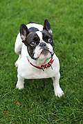 This is Sonny, an 18-month-old French Bulldog, that my dog Henry's been friends with since they were puppies.