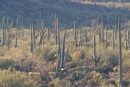 Saguaro National Park, Forest of Giant Saguaro Cactus, (Carnegiea gigantea) Arizona.