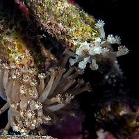 Coral Polyps, Maldives