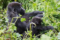 Mountian Gorillas