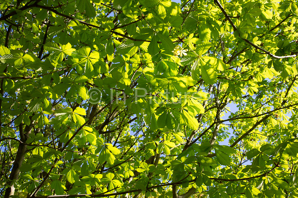 Sunlight through spring growth of Horse Chestnut trees in London, UK. Bright green leaves appearing to glow as the branches turn to leaf.