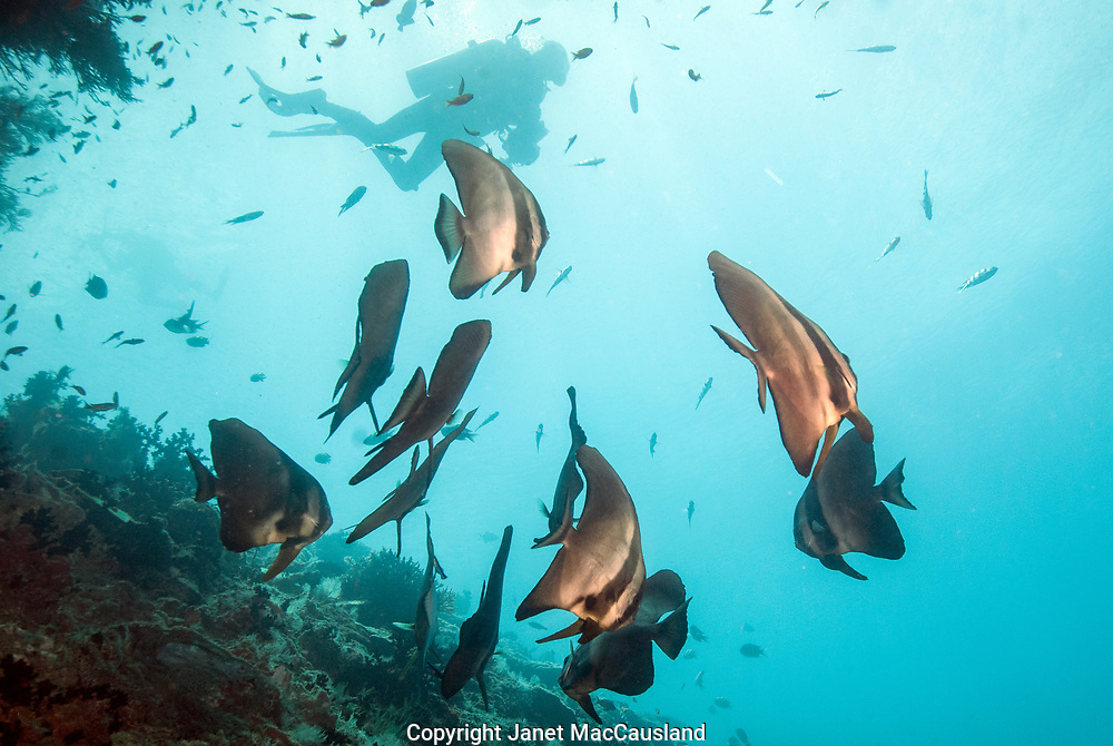 Rounded Batfish (Platax orbicularis) school around a wreck with a diver above in the Maldives, Indian Ocean.