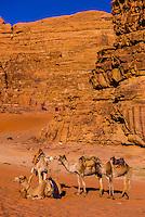 Camels, Arabian Desert, Wadi Rum, Jordan.
