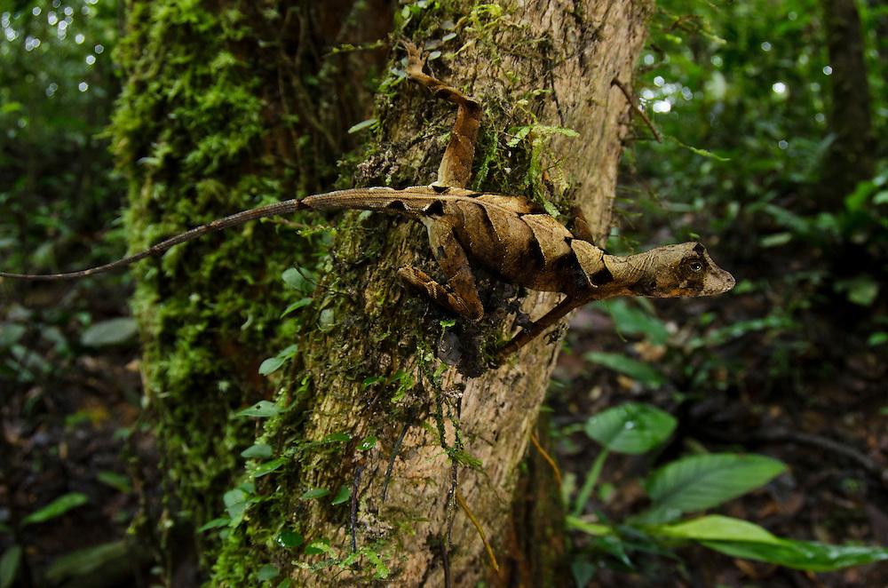 Wagler's Anole (Anolis nitens scypheus)<br /> Yasuni National Park, Amazon Rainforest<br /> ECUADOR. South America<br /> HABITAT & RANGE: Tropical forests of Amazon from Colombia, Ecuador and Peru