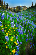 Lupines and sunflowers along Naches Peak trail in Mount Rainier National Park
