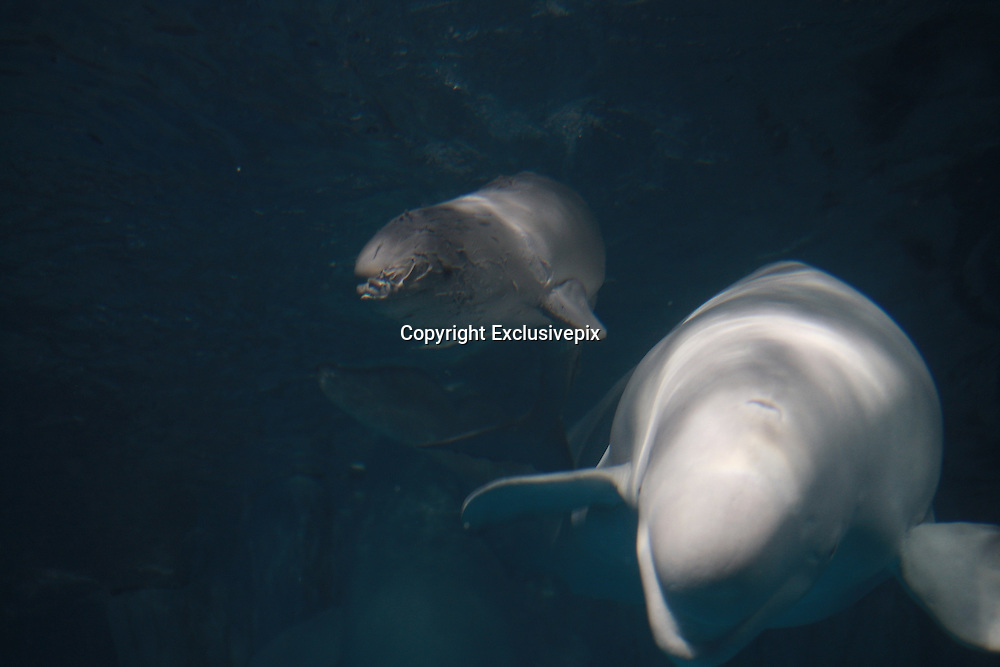 CHANGSHA, CHINA - OCTOBER 30: (CHINA OUT) <br /> <br /> Chinese First White Whale Calf<br /> <br /> White whale calf looks for breast milk on his mother at Changsha Underwater World on October 30, 2014 in Changsha, Hunan province of China. A white whale at Changsha Underwater World gave birth to a male white whale calf which was the first white whale calf in China. <br /> ©Exclusivepix