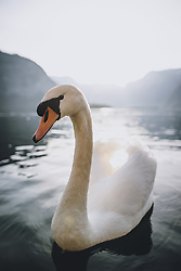THEMENBILD - ein Schwan im Hallstätter See während der Corona Pandemie, aufgenommen am 17. April 2019 in Hallstatt, Österreich // a Swan in Lake Hallstatt during the Corona Pandemic in Hallstatt, Austria on 2020/04/17. EXPA Pictures © 2020, PhotoCredit: EXPA/ JFK