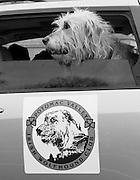 An Irish wolfhound cruises through the St Paddy's parade in Washington, DC.