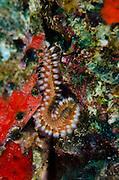 Bearded Fireworm (Hermodice carunculata)<br /> BONAIRE, Netherlands Antilles, Caribbean<br /> HABITAT & DISTRIBUTION: Reefs, reef and seagrass beds<br /> Florida, Bahamas & Caribbean.