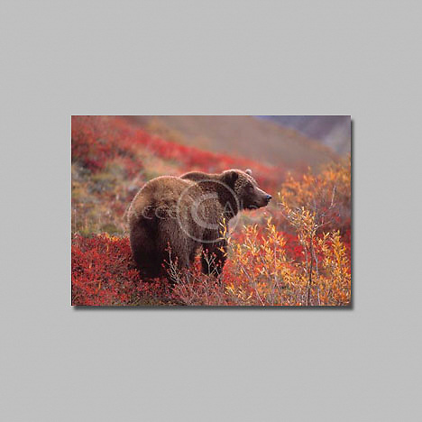 Alaska. Denali National Park. Grizzly Bear  in a patch of alpine blueberries in fall colors.