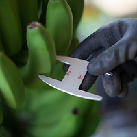 Testing the size of bananas at a BOS coop plantation in Salitral, Piura, Peru. The minimum and maximum sizes are 39mm and 44mm.