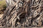 Indian Langur monkeys, Presbytis entellus, in Banyan Tree in Ranthambhore National Park, Rajasthan, India