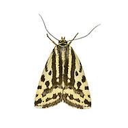 73.029 (2414)<br /> Spotted Sulphur - Acontia trabealis