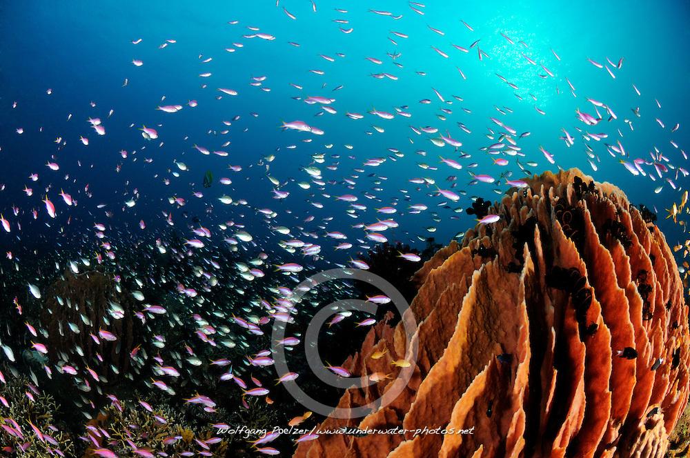 Pseudanthias sp. und Xestospongia testudinaria, Korallenriff mit Fahnenbarschen und Tonnenschwamm, coral reef with school of basslets and Barrel sponge, Bali, Indonesien, Indopazifik, Bali, Indonesia Asien, Indo-Pacific Ocean, Asia