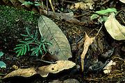 "Horned Frog (Ceratophrys cornuta) or ""Pac-Man Frog"" in leaf litter - Amazonia, Peru."