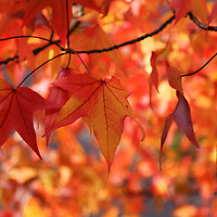"""""""Dance of Autumn Delight""""<br /> <br /> Brilliant Maple leaves dance in the sunlight on an autumn day!!<br /> <br /> Fall Foliage by Rachel Cohen"""