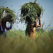 women working in a mustard field, punjab , india
