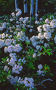 Mountain Laurel, PA forests