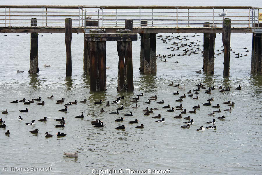 A mixed group of scoters and goldeneyes rest between feeding dives.  Note the young glaucous-winged gull with them.  If a duck surfaced with a mussel, the gull would attempt to steal it from them.  The duck would immediately dive to protect its morsel.
