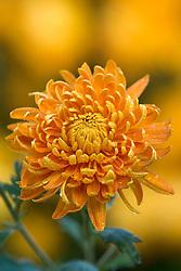 Chrysanthemum 'Orange Allouise'