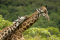 Arusha National Park<br /> Tanzania, Africa