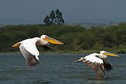 Two Great White Pelicans (Pelecanus onocrotalus) in flight, hulla valley, Israel