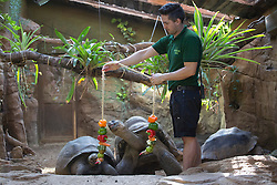 © licensed to London News Pictures. London, UK 08/08/2013. Galapagos tortoises at London ZSL Zoo being fed peppers as a summer treat on Tuesday, August 08, 2013. Galapagos tortoises are the world's largest tortoises, and some exceed five feet in length and weigh more than 250kgs. It is estimated that only 15,000 remain. Zookeepers prepare these activities to encourage the animals to hunt for their food or inspire mental challenges for them to keep them active and fit. Photo credit: Tolga Akmen/LNP