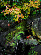 Taken in late summer, before fall had officially arrived, this particular vine maple had started to turn color before the surrounding trees. The early morning sun was shining horizontally through openings in fir trees to the left, acting as mini spotlights illuminating moss and leaves.