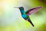 Wild Blue Chinned Saphire Hummingbird, Chlorestes notatus, in flight in Trinidad. Image available as a premium quality aluminum print ready to hang.