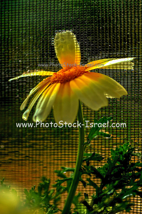 close up soft focus of a yellow daisy