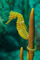 Pacific Seahorse (Hippocampus ingens)<br /><br />Rancheria Island<br />Coiba National Park<br />Panama<br /><br />Iglesias Dive Site
