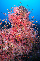 A densely packed school of Scalefin Anthias, Pseudanthias squamippinis, gather around a pinnacle covered with soft corals, , Scleronepthya sp. Puerto Galera, Mindoro, Philippines, Pacific Ocean