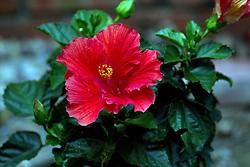09 June 2014:  Red Hibiscus Bloom.