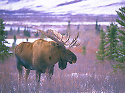 Alaska.  Denali National Park and Preserve. Bull Moose. (Alces alces) in early winter snow.  Male moose (bulls) weigh over 550kg (1200lb) on average.      Although generally timid, the males become very bold during the breeding season.