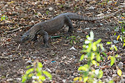 Juvenile Komodo dragon (Varanus komodoensis) from Rinca Island, Indonesia