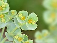 Sea Spurge - Euphorbia paralias