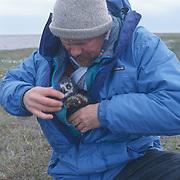 Denver Holt checking snowy owl chick, Barrow, Alaska.