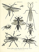 Gryllus is a genus of field cricket (Orthoptera, Gryllidae, Gryllinae). Members of the genus are typically 15–31 mm long and darkly coloured. The type species is Gryllus campestris: the European field cricket. Copperplate engraving From the Encyclopaedia Londinensis or, Universal dictionary of arts, sciences, and literature; Volume IX;  Edited by Wilkes, John. Published in London in 1811