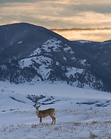 This deer was just standing there watching me when I stopped. It was just far enough away that I could capture the Bighorn Mountains and the colorful sky in the same shot.