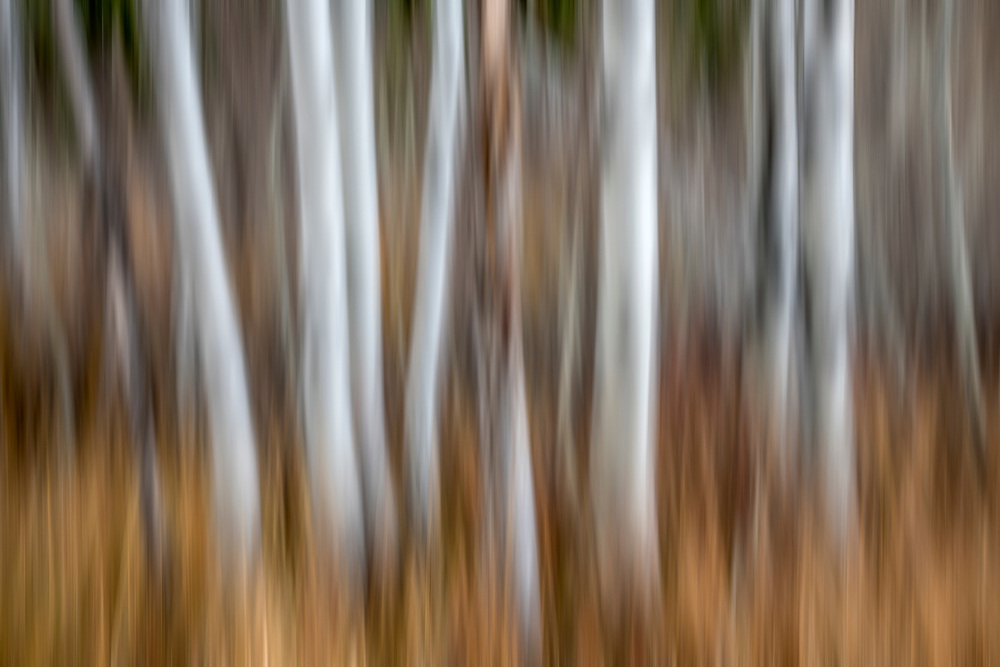 Limited Editions of 8<br /> White Aspen Tree Trunks blurs in motion in a Golden Idaho Grove.