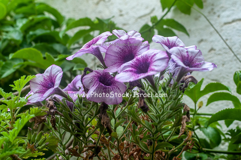 Close up of a flowering mauve petunia flower bush