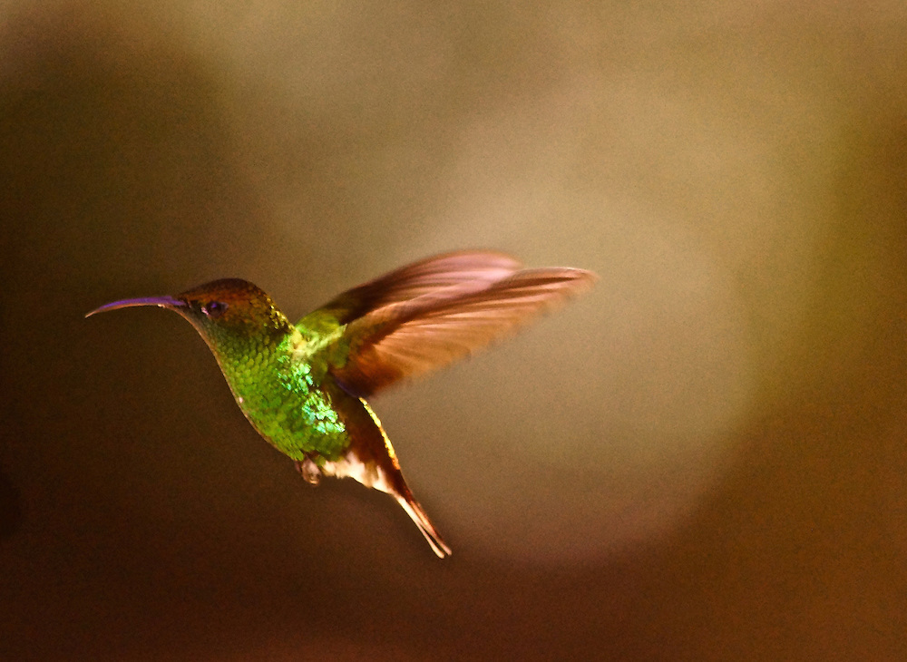A Coppery Headed Emerald, elvira cupreiceps, Cloud Forest, Monteverde, Costa Rica