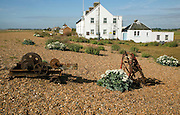 Sea kale flowering near Coastguard Cottages, Shingle Street, Suffolk, England