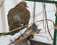 Mourning Dove (Zenaida macroura). Image taken with a Leica CL camera and 90-280 mm lens.