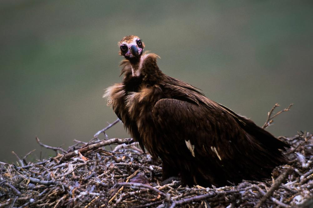 Eurasian Black Vulture (Aegypius monachus) in nest with chick<br /> Gobi Desert<br /> Mongolia