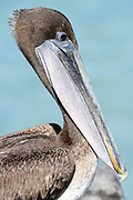 Portrait of a Galápagos Brown Pelican (Pelecanus occidentalis urinator) at rest. This bird is seen as a subspecies, endemic to Galapagos, of the Brown Pelican (Pelecanus occidentalis). Puerto Baquerizo Moreno, San Cristobal, Galapagos, Ecuador.