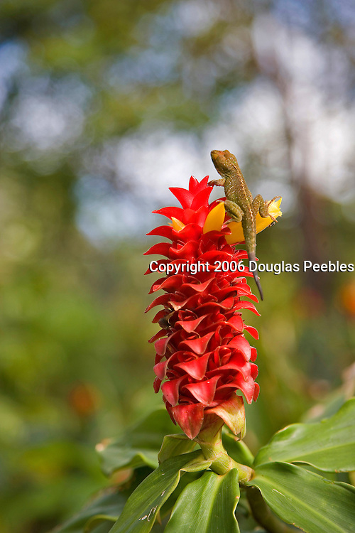 Red Ginger with lizard, Flower