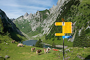 Cattle graze at Bollenwees alp, at scenic Fälensee lake in the Alpstein range, Appenzell Alps, Switzerland, Europe. Berggasthaus Bollenwees, founded in 1903, is a wonderful place to stay overnight in private double ensuite or dormitory rooms. A spectacular multi-day ridge walk covered in wildflower gardens starts at Hoher Kasten, reached via cable car from Brülisau, just 10 minutes bus ride from Appenzell village. Hike a scenic ridge via Staubern to beautiful Bollenwees and onwards to more wonders. Appenzell Innerrhoden is Switzerland's most traditional and smallest-population canton (second smallest by area).
