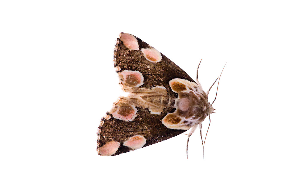 IFTE-NB-007535; Niall Benvie; Thyatria batis; peach blossom moth; Europe; Austria; Tirol; Fliesser Sonnenhänge; insect invertebrate arthropod; horizontal; high key; brown white; controlled; adult; one; upland grassland meadow woodland edge; 2008; July; summer; night; strobe backlight; Wild Wonders of Europe Naturpark Kaunergrat